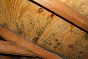 Mold growing on roof sheathing in Princeton Junction attic